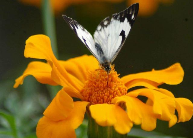Foto Atrae las mariposas