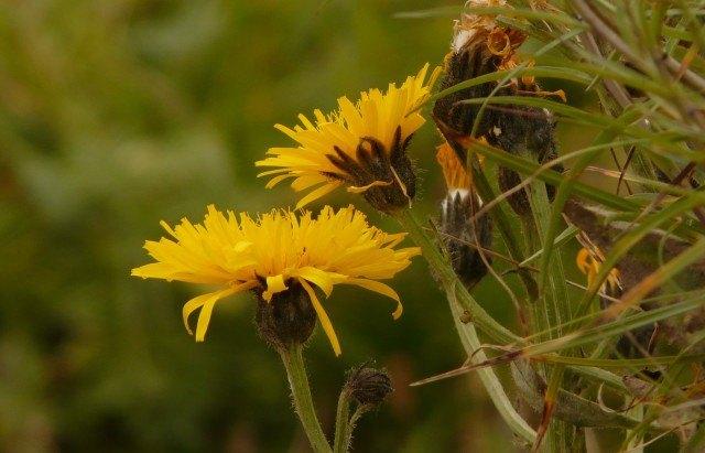 Foto La vellosilla, una planta medicinal diurética y depurativa