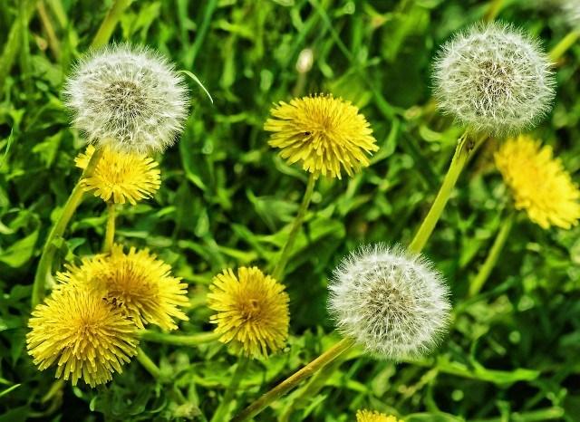 Foto Diente de león, la planta medicinal más depurativa