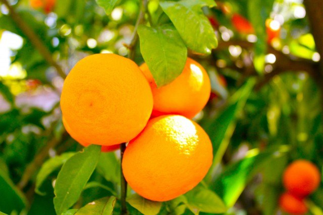 Foto Citrus aurantium naranja amarga, una planta medicinal que aumenta el gasto calórico