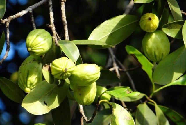 Foto Garcinia Cambogia, la planta reguladora del peso corporal y el apetito