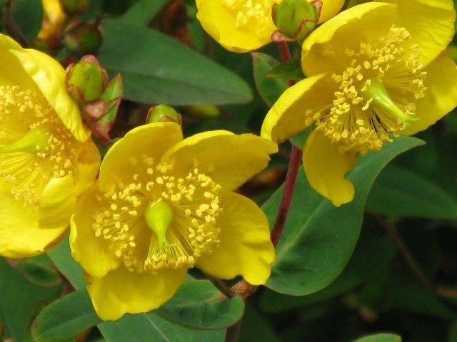 Foto El hipérico, una planta con una larga lista de virtudes terapéuticas