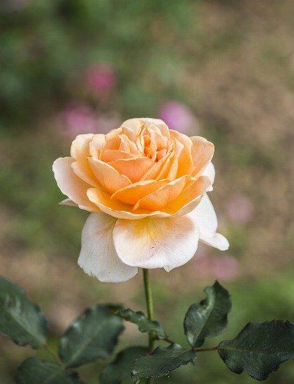 Foto Cómo cuidar los rosales